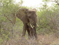 ( sub adult) elephant  /  ( onvolwasse ) olifant (Pixi2011) Tags: elephants krugernationalpark southafrica africa wildlifeafrica wildanimals animals wildlife nature