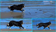 Born free as free as the ocean (ashaconnie) Tags: beach sea border collie dog running inspirationalquote ashathestarofcountydown connie kells county down photography