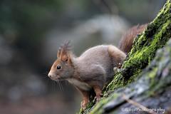 _MG_2381-web (ross.photography) Tags: scoiattolo rosso natura fotonatura wildlife parco monza canon 90d 100400