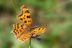 Polygonia c-album (Linnaeus 1758) (ajmtster) Tags: macro macrofotografía insecto insectos invertebrados mariposas mariposa lepidopteros nymphalidae ninfalidos amt polygoniacalbum calbum cblanca anverso butterfly butterflies papillon farfalle