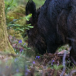 Wild Boars at the Forest of Dean