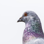 Pigeon in the back garden