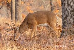 Wichita whitetail (Lindell Dillon) Tags: buck deer whitetail wildlife nature wichitamountains oklahoma wildoklahoma