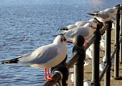 Photo of Seagull perch at Salford Quays