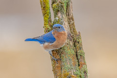 Eastern Bluebird (Joe Branco) Tags: green nikond850 ontario canada macro bird nature branco photoshop nikon joe lightroom easternbluebird naturephotography wildlifephotography joebrancophotography