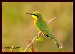 LITTLE BEE-EATERS (Melittophagus pusillus).....MASAI MARA.....SEPT 2015 (M Z Malik) Tags: nikon d3x 200400mm14afs kenya africa safari wildlife masaimara kws exoticafricanwildlife exoticafricanbirds birdsofeastafrica birds ngc npc
