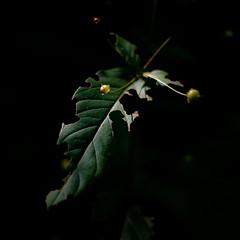 Grace In Decay 007 (noahbw) Tags: d5000 dof nikon ryersonwoodsforestpreserve abstract berries blur dark darkness depthoffield forest leaf light lowlight natural noahbw quiet square still stillness summer woods minimal minimalism