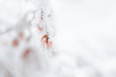 e-lias-ICC_9233-Edit (e-lias hun) Tags: yellow frost winter color nature plants white snow hanging nikon d7000 helios44m4 vintagelens