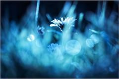 elf kingdom (***étoile filante***) Tags: daisy gänseblümchen fleur blume flower wiese meadow bokehlicious bokeh beautiful beauty beauté schönheit nature natur fairytale fairy poetic poetisch light licht blau blue bleu sonyilce6000 sonyalpha6000 magical magic magie zauber