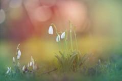 January Delight... (KissThePixel) Tags: snowdrop snowdrops flower flowers whiteflower whiteflowers bokeh bokehlicious beautiful morning sunrise sunlight light dreamingoflight dreamy kissthepixel longacremanor garden meadow depthoffield dof dofalicious nikon nikondf 70200mm sigma70200mm sigmamacro70200mm f28 sigma sigmamacrolens macro