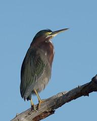 Green Heron (HH) (Hammerchewer) Tags: greenheron bird wildlife outdoor