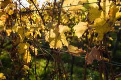 Deidesheimer Reben (JBsLightAndShadow) Tags: deidesheim rheinlandpfalz rhinelandpalatinate deutschland germany pfalz palatinate pfälzerweinsteig weinsteig winetrail wandern hiking hike outdoors herbst autumn fall nikon nikond750 d750 tamron tamronsp2470mmf28divcusd wein vine vines rebe reben weinreben weinrebe vineyard