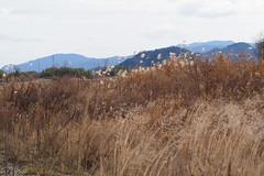 Yasugawa riverbank in Deba, Ritto City (Greg Peterson in Japan) Tags: ritto 滋賀県 rivers 植物 grass 栗東市 shiga yasugawa plants landscapes 野洲川 japan deba shigaprefecture