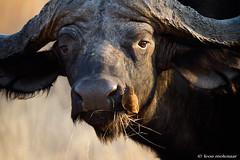 African Buffalo & Oxpecker (leendert3) Tags: leonmolenaar southafrica krugernationalpark wildlife wilderness wildanimal nature naturereserve naturalhabitat mammal capebuffalo oxpeckerbuffalo naturethroughthelens ngc