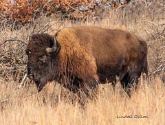 American bison (Lindell Dillon) Tags: bison buffalo wildlife nature winter wichitamountains oklahoma wildoklahoma