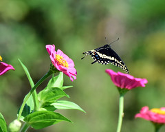 810_7108. Black Swallowtail (laurie.mccarty) Tags: butterfly butterflyinflight swallowtail flower insect bokeh zinnia