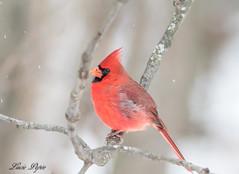 Cardinal (Lucie.Pepin1) Tags: oiseaux birds nature wildlife faune fauna luciepepin canon7dmarkii canon300mml