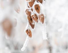 e-lias-ICC_9205-Edit (e-lias hun) Tags: winter frost frozen tree seeds wintercolor helios helios44m4 nikon d7000 elias dslr hungary vintagelens
