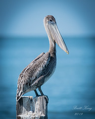 Pelican Portrait (dbking2162) Tags: nature nationalgeographic wildlife water wading birds bird beautiful beauty blue ocean pelican portrait perched fortmyersbeach florida