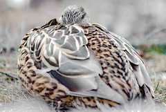 Do not disturb (Diggerthedog99) Tags: bird canada watching resting feather waterfowl canadianbird canon donotdisturb birdseyeview sleeping duck mallard