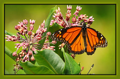 ":\ Portrait of a Monarch Butterfly /: (Darrell Colby "" You Call The Shots "") Tags: portrait monarch monarchbutterfly butterfly beautiful londonontario darrellcolby"