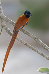Tchitrec à ventre roux - Red-bellied Paradise Flycatcher (happybirds.ch) Tags: happybirds gambia gambie afrique africa oiseau bird nature wildlife wild sauvage vie footsteps red bellied paradise flycatcher redbelliedparadiseflycatcher terpsiphonerufiventer tchitrec ventre roux tchitrecàventreroux gunjur