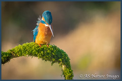 Contemplation (www.andystuthridgenatureimages.co.uk) Tags: kingfisher female perch perched mossy branch watching waiting contemplating contemplation fishing lake river canon wildlife photography bird water somerset uk