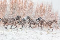 (Marc Crumpler (Ilikethenight)) Tags: wildlife animals horses wildhorses nevadawildhorses galloping snowing blizzard usa usawest nevada washoecounty washoevalley washoelake marccrumpler winter snow cold canon canon7dmarkii 7dmarkii 70300mmf456lisusm