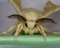 Bombix mori (faelopez) Tags: olympus zuiko60mmmacro insects insectos epl5 bombix mori gusanodeseda silkworm
