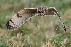 Seo (martin crossman) Tags: seo short eared owl wildlife nikon 300mm f28 d500