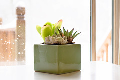 The Beauty in Contrast (Cristy McAuley) Tags: smileonsaturday getnatureinyourhome succulents blizzardoutside babyitscold itsdryinside warmth greens plants indoors window snow outsidein winter