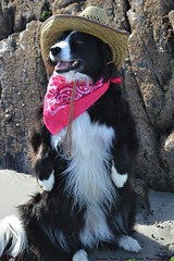 It's National Hat Day today... (ashaconnie) Tags: nationalhatday funny dog picture border collie hat bandana beach ashathestarofcountydown connie kells county down photography