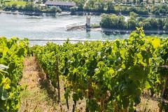 Reben über dem Rhein (JBsLightAndShadow) Tags: rüdesheim lorch hessen hesse deutschland germany rheinsteig rhein rhine rhineriver rhinetrail herbst autumn fall wandern hiking hike outdoors nikon nikond750 d750 tamron tamronsp2470mmf28divcusd wein reben weinrebe weinreben vine vines vineyard