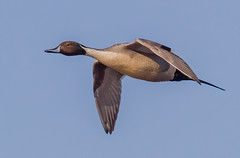 High Speed Pintail (tresed47) Tags: 2020 202001jan 20200106bombayhookbirds birds bombayhook canon7d content delaware ducks flightshot folder general january northernpintail peterscamera petersphotos places season takenby us winter