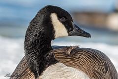 Bernache du Canada - Canada Goose (Lucie.Pepin1) Tags: birds oiseaux eau water nature wildlife faune fauna luciepepin canon7dmarkii canon300mml