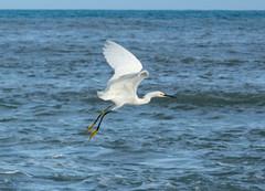 Snowy Egret. (Jacque & John) Tags: texasbirds birdswatching birds egret snowyegret coastalbirds southpadreisland