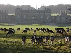 Fallow Deer herd Holkham 18.1.20 (ericy202) Tags: fallow deer herd grass park hplkham hall