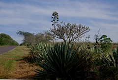 Paisagem GK 2017-061511 (7) (butts97) Tags: natureart garden brasil rural outdoors agave tropical green leaves