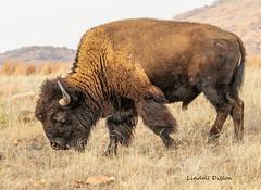 Mixed grass prairie (Lindell Dillon) Tags: bison buffalo prairie southernplains mixedgrassprairie wichitamountains nature wildlife oklahoma wildoklahoma