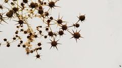 Snow thorn (MasMozaffary) Tags: thorn snow star white botanica botanical bush