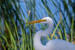 Closeup of Great egret fishing at sunrise at the Venice Rookery, Venice, Florida (diana_robinson) Tags: greategret ardeaalba whitebird displaying breedingplumage sunrisedawn venicerookery floridausastate environment environmentalconservation outdoors beautyinnature nopeople closeup bird waterbird nature head beak neck egret pond feather water marsh abigfave