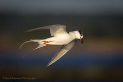 Tern (Kevin James54) Tags: kevingiannini nikon500mmpff56 nikond850 wilmington animals avian bird birds fortfisher kevingianniniphotocom tern