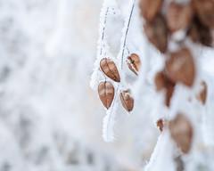 e-lias-ICC_9214-Edit (e-lias hun) Tags: winter frost frozen tree seeds wintercolor helios helios44m4 nikon d7000 elias dslr hungary vintagelens