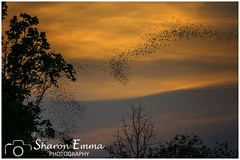 A Bat Murmuration near Khao Yai National Park, Thailand (Sharon Emma Photography) Tags: batmurmuration khaoyainationalpark bats murmuration twilight sunset ribbon patterns pretty winding flying hiddengem remote attractive view scenery landscape wow ngc holiday travelling walking hiking trekking thailand asia nikon nikond7200 sharonemmaphotography sharonemmagoldring sharongoldring sharondowphotography 2019 perfect paradise desertedparadise pictureperfect picturesque ideal stunning peaceful beautiful photographysharonemmacouk
