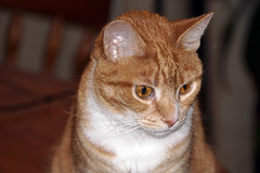 Crissy (baalands) Tags: crissy pet cat feline gato orange tabby