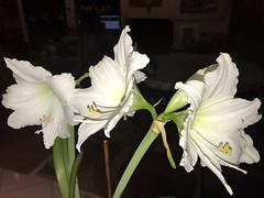 Amaryllis (soniaadammurray - On & Off) Tags: iphone flowers amaryllis white beauty look appreciate hsos shadows reflections smileonsaturday getnatureinyourhome artchallenge nature