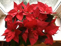 HSoS ~ Get Nature in Your Home (karma (Karen)) Tags: baltimore maryland plants poinsettia vibrant smileonsaturday getnatureinyourhome hsos hcs