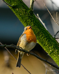 Somebody seems quite happy with this weather (Marc Haegeman Photography) Tags: winter robin europeanrobin birds songbirds erithacusrubecula parks ghent gent flanders seasons weather marchaegemanphotography nikond850 nature zangvogels
