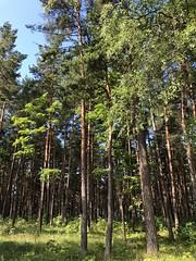 Saulkrasti (ilamya) Tags: latvia saulkrasti trees