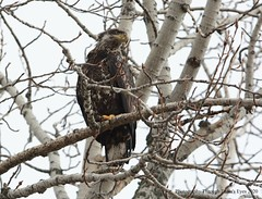 Bald Eagle (Haliaeetus leucocephalus) (Photography Through Tania's Eyes) Tags: baldeagle tree bird nature animal fauna wings flora eagle wildlife beak feathers cottonwood birdofprey talons photographythroughtaniaseyes canada bc britishcolumbia haliaeetusleucocephalus taniasimpson